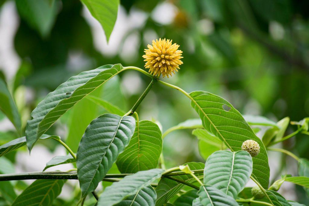 Le Kratom pousse à l'origine dans des régions chaudes, humides et tropicales du monde, comme la Thaïlande. Il lui faut donc un environnement de culture similaire pour vraiment s'épanouir. C'est pour cette raison que si vous voulez vraiment cultiver du Kratom, vous devez le faire en serre ou en intérieur.