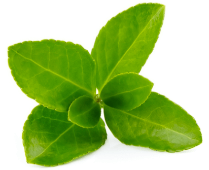 Le kratom (Mitragyna speciosa) est une plante connue en Asie pour ses propriétés médicinales