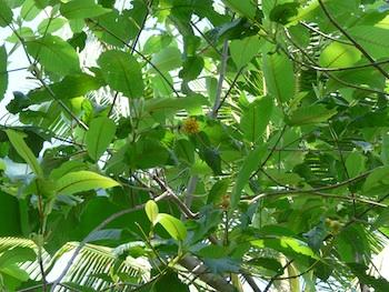 Le Kratom ou Mitragyna speciosa est un arbre tropical qui pousse dans des régions chaudes et humides d'Asie. Haut de 3 à 10 m a l'âge adulte, son tronc est droit, les feuilles sont larges et pointues.